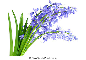 Bluebell - Bundle of common lavender bluebell flowers...
