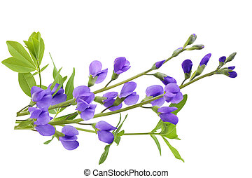Baptisia False Indigo australis flower isolated on white