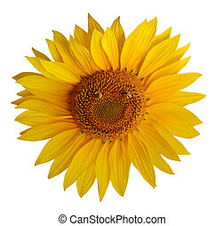 Sunflower - Single sunflower with two bee foruming a smily...