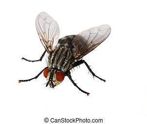 Red Eyed Fly - Single red eyed fly isolated on white