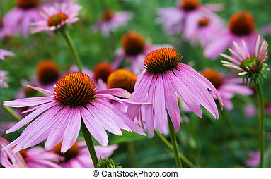 Pink Coneflower - Pink cone flower plant for natural...
