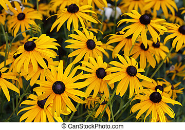 Black eyed susan flowers for natural background