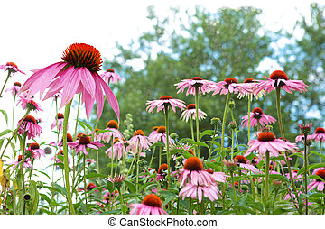 Coneflowers - Fresh Cone flower plants in the garden