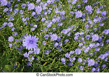 Chicory Field - Blue cichorium chicory wild flowers on the...