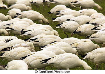 Snow Geese Flock Feeding Close Up Skagit County Washington -...