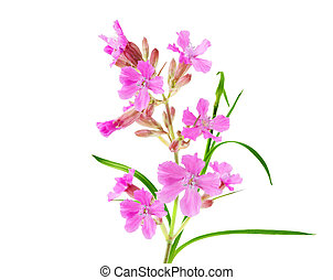 Pink Fireweed Flower - Pink fireweed flower isolated on...
