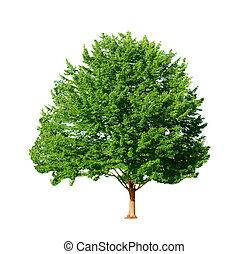 Maple Tree - Maple tree