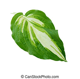 Hosta Leaf - Single hosta leaf