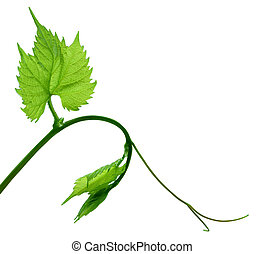 Grape Leaf on vine