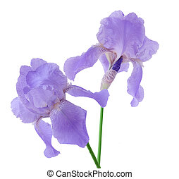 Two purple iris flowers