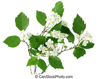 Haw Thorn - Hawthorn flower and leaves