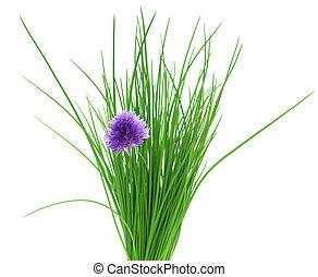szczypiorek, kwiat