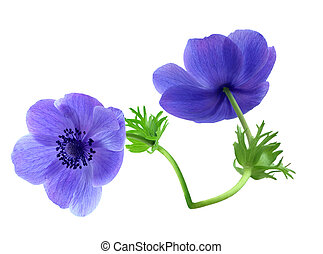 anemone - Two anemone flowers