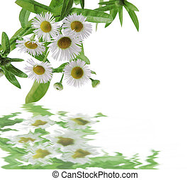 Asters - Wild asters cluster reflecting on the clear water,...