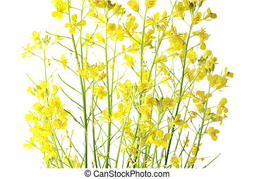 Rapeseed flower for textured detail background