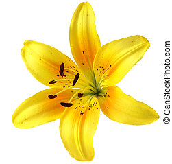 Yellow Lily - Single yellow lily flower head, isolated on...