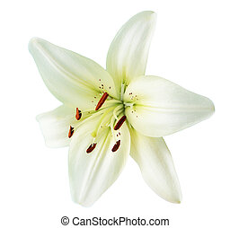 White lily - Creamy lily flower isolated on white background