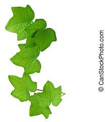 Green Leaves  - Green leaves on vine