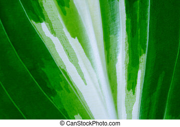 Hosta Leaf - Closeup of the hosta foliage leaf