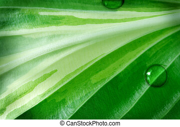Hosta Foliage - Hosta foliage in detail for natural textured...