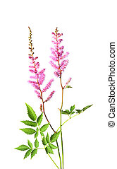 False Spirea - False spirea astilbe arendsil flowers...