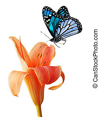 Day lily and blue butterfly - Single orange daylily and blue...