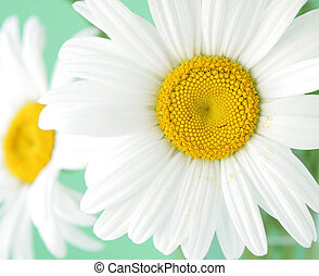 Camomile Daisy - Camomile daisy flowers one in focus for...