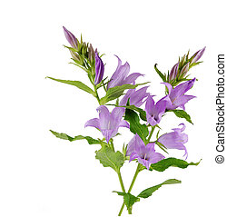 Creeping Bellflower - Creeping bellflower isolated on white...