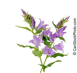 Creeping Bellflower - Creeping bellflower isolated on white...