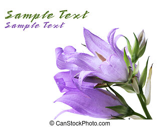 Creeping Bellflower - Creeping blue bellflower isolated on...
