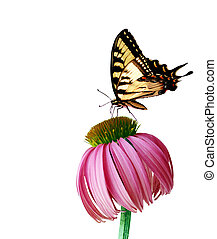Coneflower Butterfly - Eastern Tiger Swallowtail butterfly...