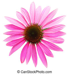 Coneflower - Pink coneflower head, isolated on white...