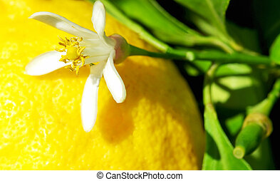Yellow lemon and flower on tree