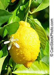 Yellow lemon and flower. - Yellow lemon and flower hanging...