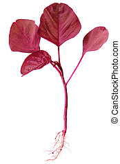 Red Spinach - Cheera Pachadi Red Indian Spinach with root