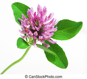 Red Clover flower - Trifolium pratense Red clover flower and...