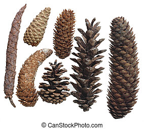 Seven pinecones - Group of seven pinecones isolated on white