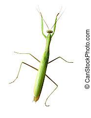 Praying Mantis - Green praying mantis isolated on white...