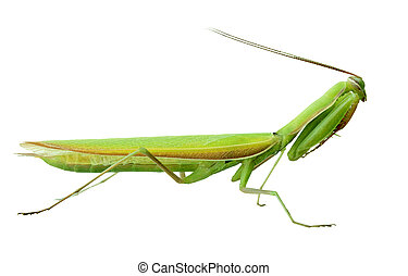 Praying Mantis - Alive Praying mantis isolated on white...