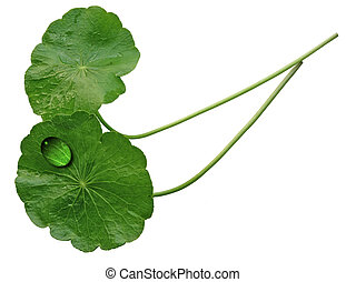 Two Pennywort Leaves - Two pennywort leaves isolated on...