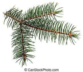 Pine Leaves - Pine leaves on branch isolated on white