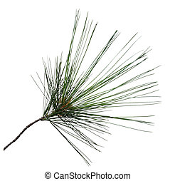 Pine branch - Fresh pine branch isolated on white background