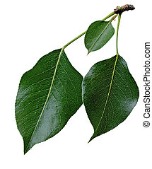 Pear Leaf - Three pear leaves on branch isolated on white