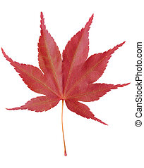 Red Maple Leaf - Single red maple leaf isolated on white...