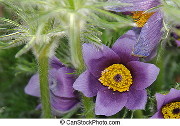Pasque flower - pasque flower