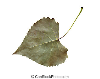 Cottonwood Leaf - Dried and shriveled fremont cottonwood...