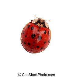 Ladybug - Tiny ladybug isolated on white background with...
