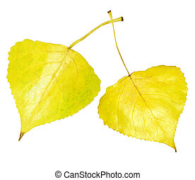 Golden aspen leaf - Single golden aspen leaf isolated on...
