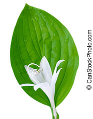 Hosta flower and leaf isolated on white