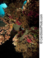 coral reef and emperor angelfish in the Red Sea.